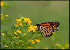 2010-09-30-283-Monarch-nectaring-Lantana,-Sparrow-Field