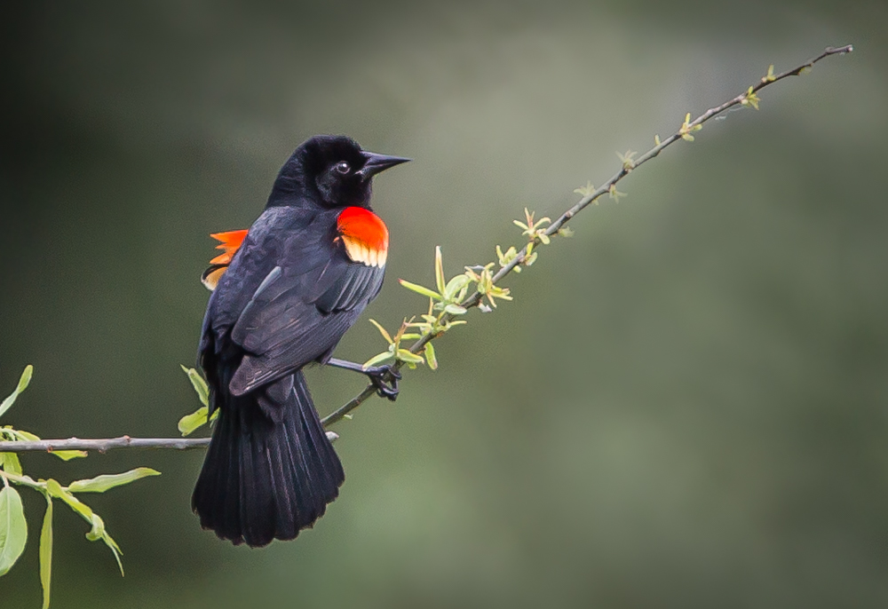 Red-winged Blackbird-1