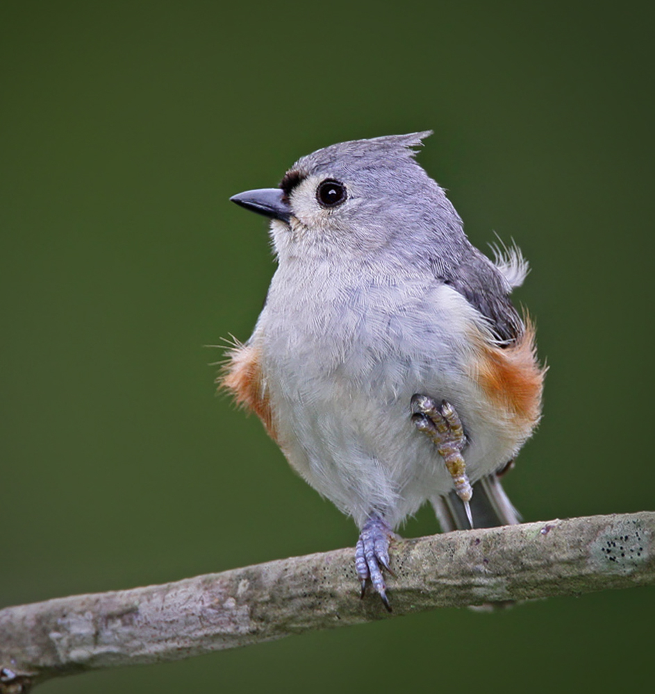 Tufted Titmouse-1