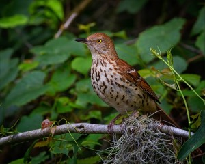 2013_7_28_7440 8_NR_Brown Thrasher