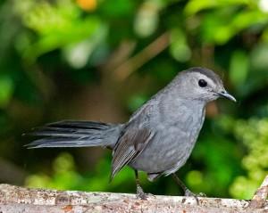 1566-Gray-Catbird-C