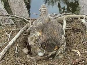 Great Horned Owl First Egg 1-1-15