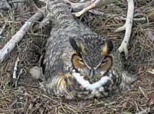 Great Horned Owl on nest 1:1:15