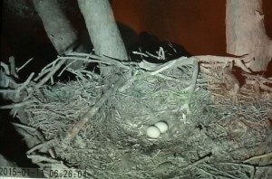 Owl 1-11-15 6.26 Eggs Unguarded For 20 Minutes