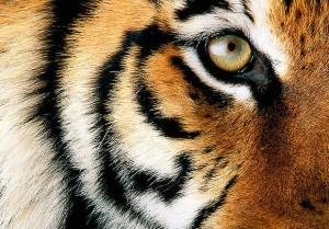 Tiger Photo 2