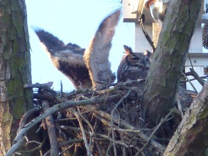 Owlet Big Stretch