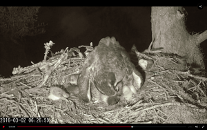 Mom carefully feeds an owlet