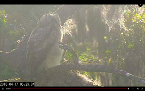 Owlet 1 has fledged