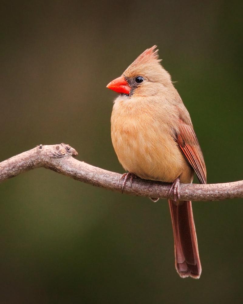 Northern Cardinal (female)-1